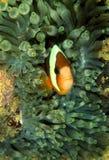 Anemonefish του Clark, νησί Perhentian, Terengganu Στοκ Φωτογραφίες