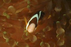 Anemonefish του Clark, νησί Perhentian, Terengganu Στοκ Φωτογραφία