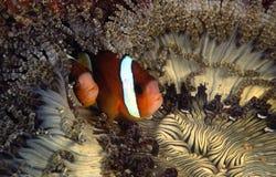 Anemonefish του Clark, νησί Perhentian, Terengganu Στοκ Εικόνα