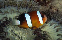 Anemonefish του Clark, νησί Perhentian, Terengganu Στοκ φωτογραφία με δικαίωμα ελεύθερης χρήσης