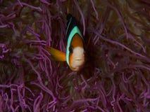 Anemonefish του Clark Στοκ εικόνα με δικαίωμα ελεύθερης χρήσης