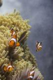 Anemonefish клоуна (ocellaris Amphiprion) в море Andaman Стоковая Фотография RF