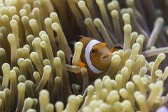 Anemonefish клоуна (ocellaris Amphiprion) в море Andaman Стоковое фото RF