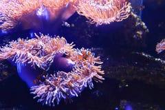 Anemonefish на предпосылке актинии Стоковые Фото