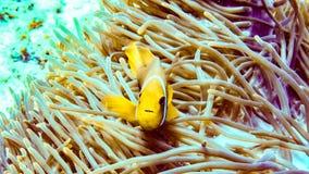 Anemonefish пряча в своей ветренице, Мальдивы стоковая фотография rf