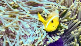 Anemonefish пряча в своей ветренице, Мальдивы стоковое фото