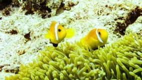 Anemonefish пряча в своей ветренице, Мальдивы стоковые изображения rf