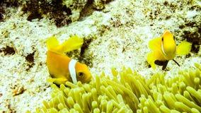 Anemonefish пряча в своей ветренице, Мальдивы стоковая фотография