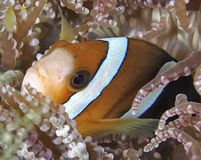 Anemonefish Obraz Stock
