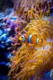 Anemonefish Στοκ Φωτογραφία