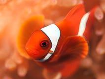 anemonefish Royaltyfria Bilder