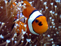 ANEMOnefish Image stock