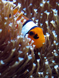 ANEMOnefish Stock Photography