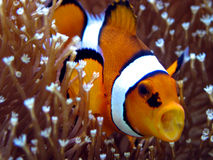 ANEMOnefish Photo libre de droits