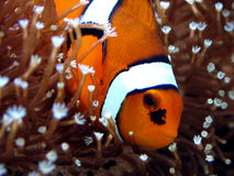 ANEMOnefish Images stock