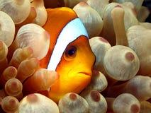 Anemonefish Photo stock