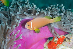 Anemonefish Royalty Free Stock Image