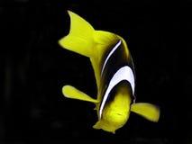 anemonefish стоковая фотография