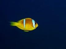 Anemonefish Stock Photos