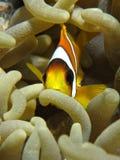 Anemonefish Royalty-vrije Stock Afbeelding