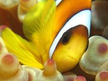 Anemonefish Stock Afbeeldingen