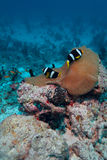 anemonefish zdjęcia royalty free
