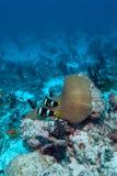 anemonefish fotografia stock