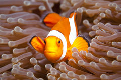 Anemonefish Stock Photos