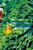 anemonefish obrazy royalty free