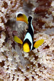 Anemonefish Stock Photo