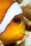Anemonefish Στοκ φωτογραφίες με δικαίωμα ελεύθερης χρήσης