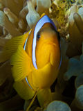 Anemonefish Royalty Free Stock Images