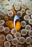 Anemonefish Στοκ Φωτογραφίες