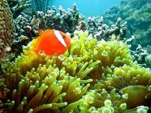 Anemonefish Fotografía de archivo