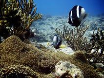 Anemonefish Foto de archivo libre de regalías