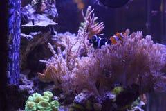 Anemonefish Στοκ εικόνα με δικαίωμα ελεύθερης χρήσης