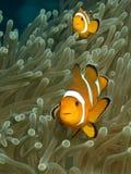 Anemonefish Στοκ Εικόνα