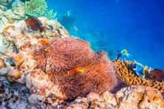 Anemonefish Στοκ Εικόνες