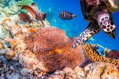 Anemonefish Στοκ φωτογραφία με δικαίωμα ελεύθερης χρήσης