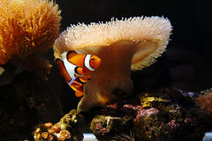 Anemonefish Royaltyfria Foton