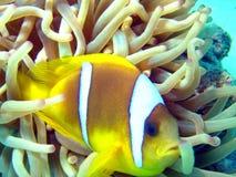 anemonefish arkivbild