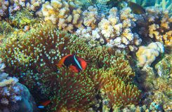 Anemonefish in actinia. Tropical seashore animal underwater photo. Coral reef animal. Natural aquarium background. Tropic sea fish and coral. Undersea view of Stock Photos