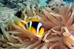Anemonefish (amphiprion bicinctus) Royalty Free Stock Photos