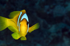 Anemonefish (amphiprionbicinctus) in the Red Sea. Royalty Free Stock Image