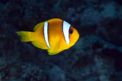 Anemonefish (amphiprionbicinctus) in the Red Sea. Stock Photo