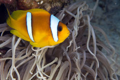 Anemonefish (amphiprionbicinctus) in the Red Sea. Stock Images