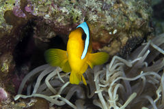 Anemonefish (amphiprionbicinctus) in the Red Sea. Royalty Free Stock Images