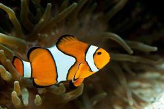 Anemonefish between an anemone Stock Image