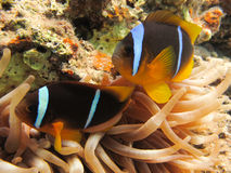 Anemonefish in an Anemone. Pair of Anemonefish (clownfish) in an  Anemone Stock Photos