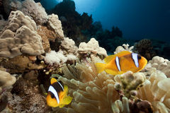 Anemonefish, anemone and coral Royalty Free Stock Image